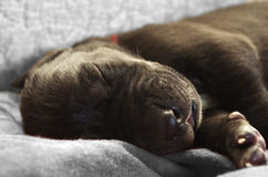 Newborn puppy close up Stock Images