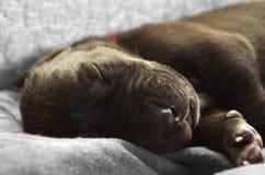 Newborn puppy close up Stock Images