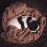 Newborn puppy curled up in knit blanket. Black and white newborn puppy curled up in a knitted brown blanket Stock Photography