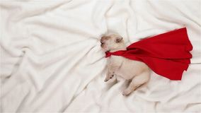 Newborn puppy dog dreaming of being a superhero stock video footage