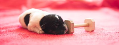 Newborn puppy dog is lying in front of red background. stock photo