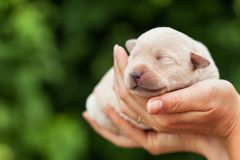Newborn puppy dog in woman palms royalty free stock photography