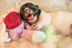 Newborn puppy dogs with toy - three days old jack Russell royalty free stock photos