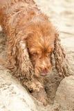 Newborn puppy English cocker spaniel dog digging sand Stock Photo