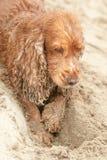 Newborn puppy English cocker spaniel dog digging sand Royalty Free Stock Image