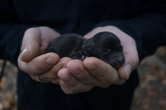 Newborn puppy in the hands of men. Little black dog baby. Royalty Free Stock Images