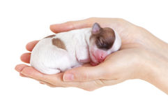 Newborn Puppy In The Caring Hands Royalty Free Stock Photos