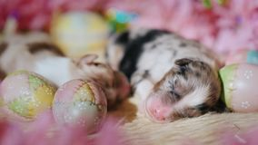 A newborn puppy lies near the ornaments for Easter. 4K video stock footage