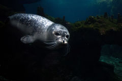 Newborn puppy monk seal coming to you Royalty Free Stock Photography