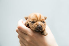 Newborn puppy Royalty Free Stock Photography