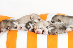Newborn puppy Royalty Free Stock Images