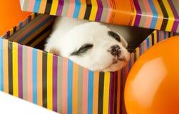 Newborn puppy sleeps Royalty Free Stock Image