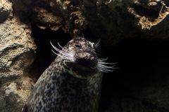 Newborn puppy monk grey seal coming to you. Newborn puppy young monk seal coming to you underwater Stock Photo