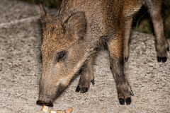 Newborn puppy young wild boar eating bread at night Royalty Free Stock Photos