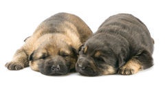 Newborn puppys Stock Photos