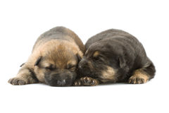 Newborn puppys Stock Images