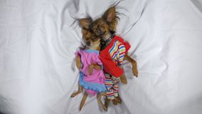 Free Newborn Puppys Sleeping. Adult Small Dogs Toy Terriers In Pajamas. Stock Photography - 110201332