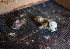 New life newborn. Newborn quail come out from eggs on a poultry farm stock photography