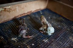 New life newborn. Newborn quail come out from eggs on a poultry farm royalty free stock photos