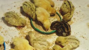 Newborn quails of different breeds eat a special balanced feed in a warm brooder. Close up stock video footage