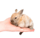 Newborn rabbit on a person's palm. isolated on white background Royalty Free Stock Photo