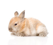 Newborn rabbit in profile. isolated on white background Royalty Free Stock Image