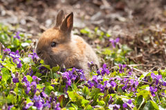 Newborn rabbit in spring violets Royalty Free Stock Photo