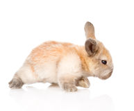 Newborn rabbit walking. isolated on white background Stock Photo