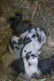 Newborn rabbits Stock Images