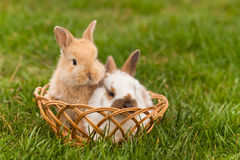 Newborn rabbits in springtime Royalty Free Stock Images
