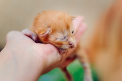 The newborn red-haired kitten of Maine Coon breed rests on the arm royalty free stock image