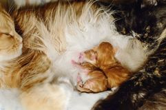 Newborn red kittens suck milk from a cat. The cat family royalty free stock photo
