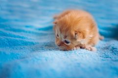 Newborn redhead kitten. The Maine Coon breed royalty free stock photography