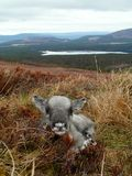 Newborn reindeer calf in Scotland. Newborn reindeer calf in the Cairngorm mountains, Scotland Royalty Free Stock Photos
