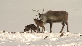 Newborn reindeer with mother in winter in tundra. stock footage