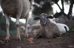 Newborn Resting Lamb and flock in winter. royalty free stock photo
