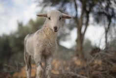 Newborn Resting Lamb and flock in winter. stock photography