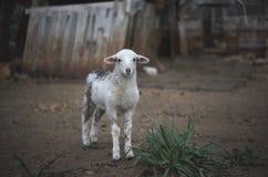 Newborn Resting Lamb and flock in winter. stock photo