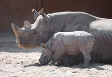 Newborn rhinoceros. stock images