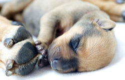 Newborn Rhodesian Ridgeback whelp, 4 days of age Royalty Free Stock Photography