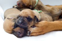 Newborn Rhodesian Ridgeback whelps,1 week of age stock image