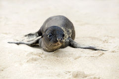 Newborn Sea Lion Royalty Free Stock Photos