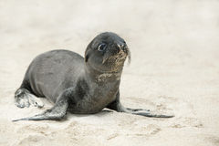 Newborn Sea Lion Stock Images