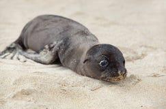 Newborn Sea Lion Royalty Free Stock Image