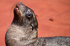 Newborn Sea Lion. On the beach in the Galapagos Islands royalty free stock photos