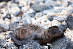 Newborn sea lion Stock Photo