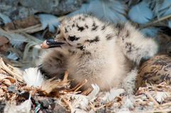 Newborn seagull chick Royalty Free Stock Images