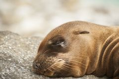 Newborn seal Royalty Free Stock Photo