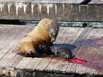 Newborn Sealion Stock Photos