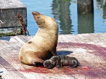 Newborn Sealion Stock Photo